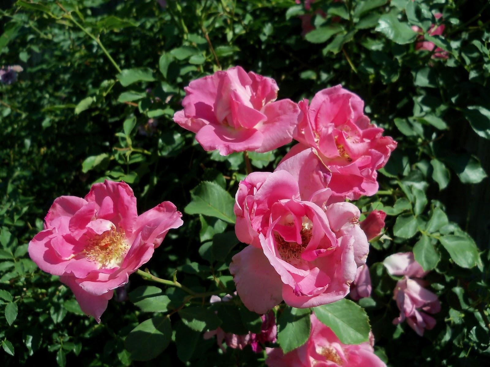 Gardening 2011 - 100_9086.JPG