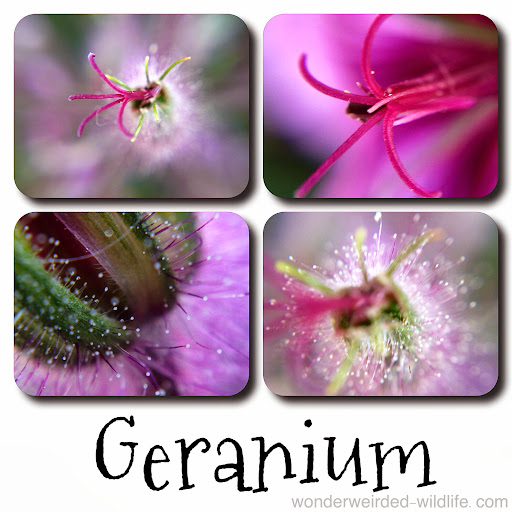 Geranium%20Picture%20%3A%20Wonderweirded%20Wildlife%20Watch%20%20
