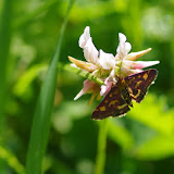 Crambidae : Pyraustinae : Pyrausta purpuralis (L., 1758). Les Hautes-Lisières (Rouvres, 28), 6 juillet 2012. Photo : J.-M. Gayman