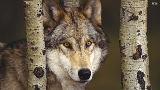 Wolf Eyes Closeup