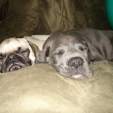 The Dynamite Danes Family! - Dog%2B8wks%2B089.jpg