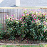 Gardening 2011 - 100_9332.JPG