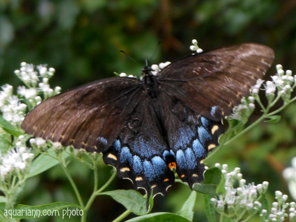 Spicebush Swallowtail Butterfly Photo By Aquariann