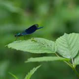 Odonata : Calopterygidae : Calopteryx splendens (HARRIS, 1782). Les Hautes-Lisières (Rouvres, 28), 11 juin 2012. Photo : J.-M. Gayman