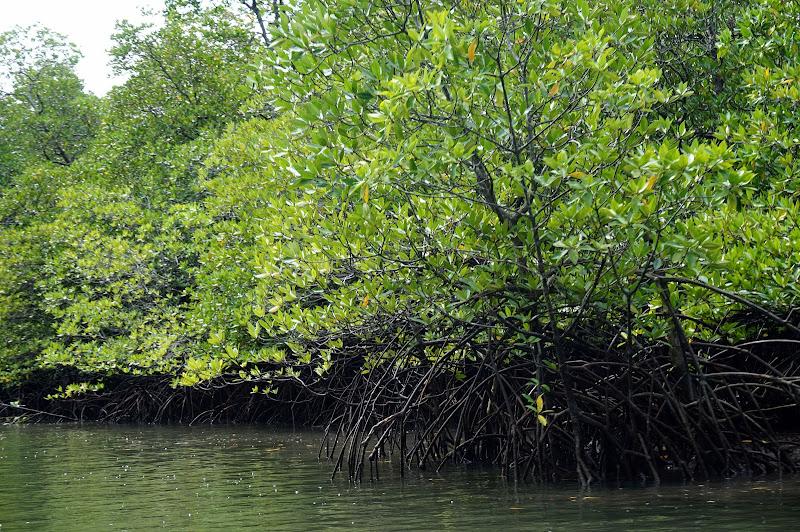 DSC06198 - Mangrove forest