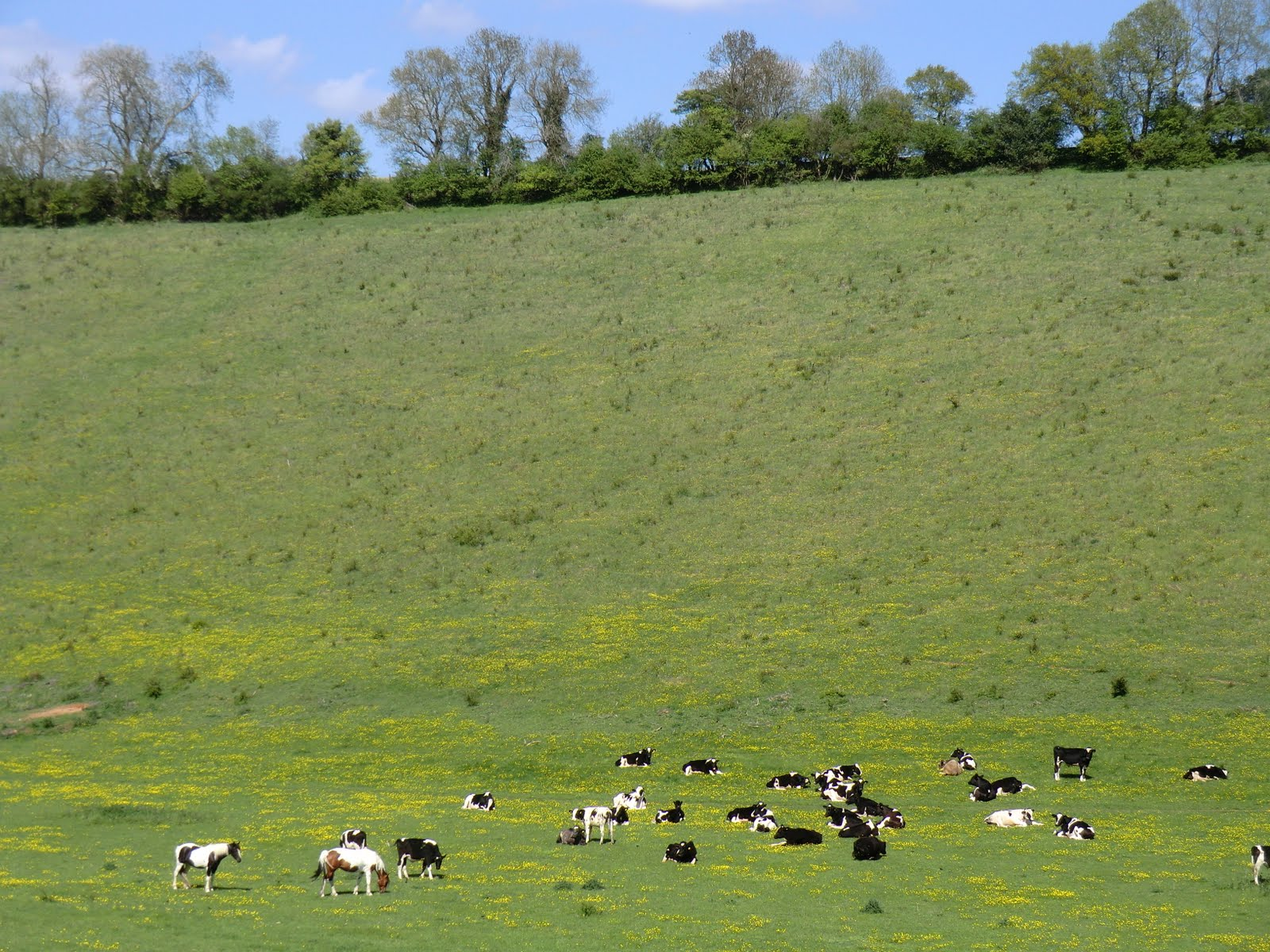 CIMG8164 Horses, cows and buttercups