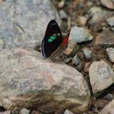 Diaethria clymena bourcieri (GUENÉE, 1872). Vallée du Rio Guallupe, 1600 m (Imbabura, Équateur), 2 décembre 2013. Photo : J.-M. Gayman