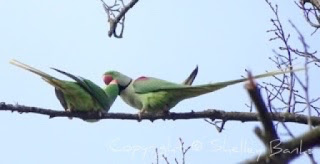 Rose-ringed Parakeets - Amsterdam. (c) copyright Shelley Banks, all rights reserved.