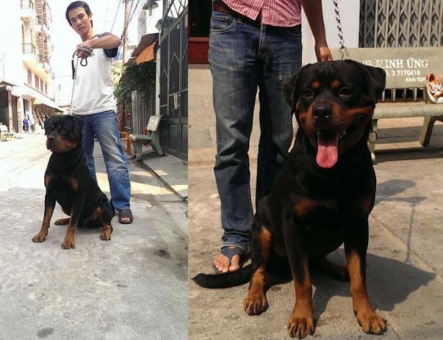 Khôi Rottweiler - Địa chỉ & giá phối giống chó Rottweiler ở Hà Nội và TPHCM