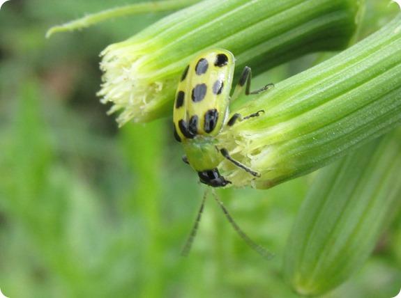 spotted cucumber beetle (Diabrotica undecimpunctata) (2)
