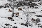 PAS DE CHICHIS  Chamois et étagnes (femelles de bouquetins) en gagnage ensemble durant l'hiver 2013-2014