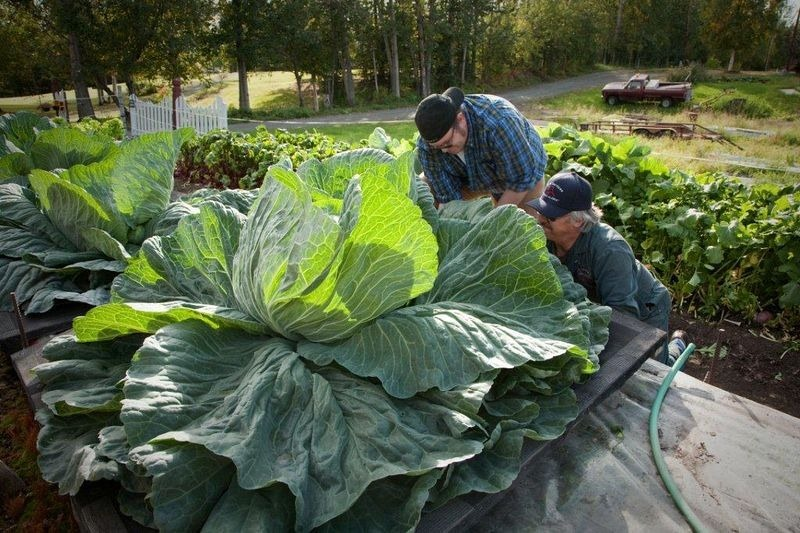 alaska-giant-vegetables-7