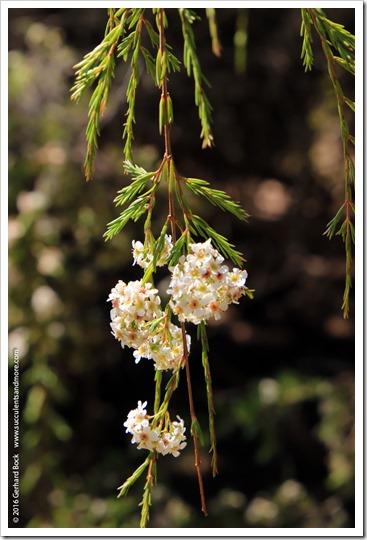 160813_UCSC_Arboretum_Baeckea-densifolia