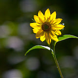 sunflower_MG_8456-copy.jpg