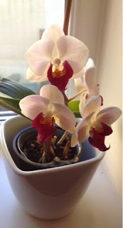 7 Hints and Tips on Caring for Orchids