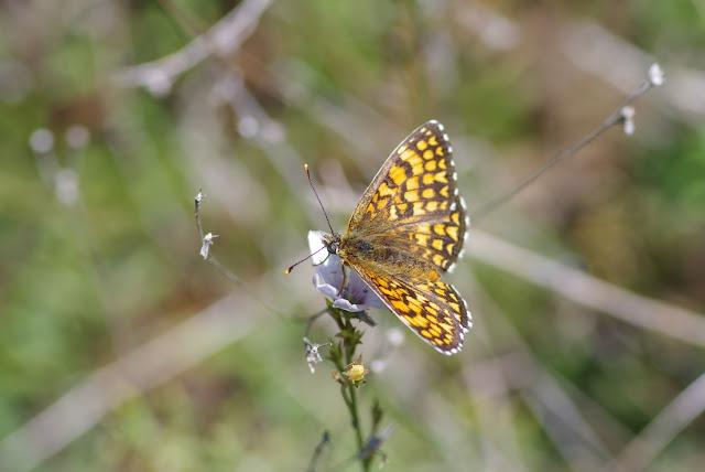 Mellicta dejone dejone (Geyer, 1832), mâle. Les Hautes-Courennes. Saint-Martin-de-Castillon (Vaucluse), 17 juin 2015. Photo : J.-M. Gayman
