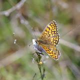 Melitaea parthenoides (Keferstein, 1851). Les Hautes-Courennes. Saint-Martin-de-Castillon (Vaucluse), 17 juin 2015. Photo : J.-M. Gayman