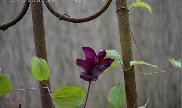 Blüten der Waldrebe Ende November