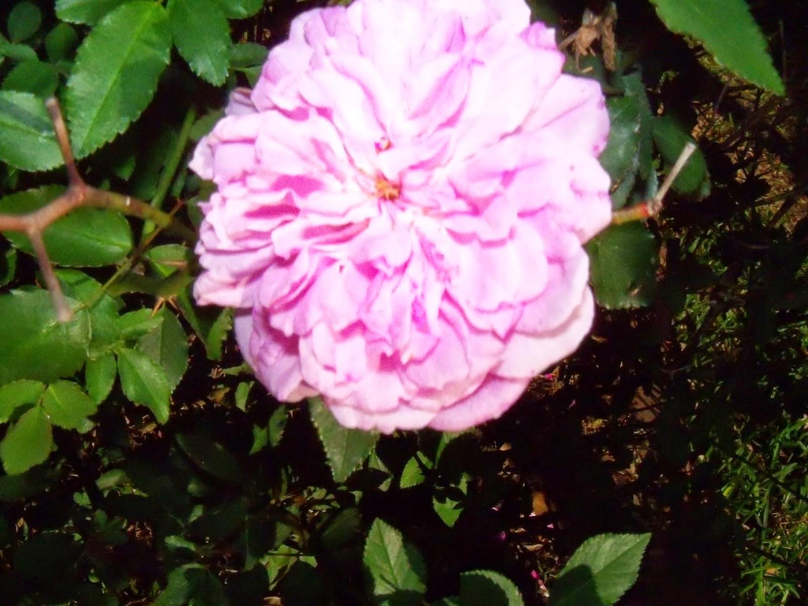 Gardening 2015 - 116_7634.JPG
