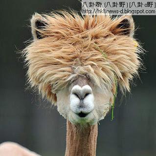 草泥馬剪頭髮-奧地利草泥馬剪頭髮