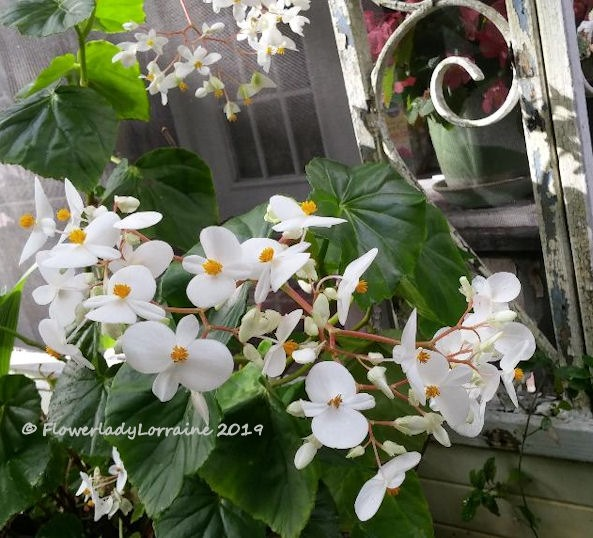 [01-03-scented-begonia%5B5%5D]