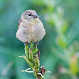 goldfinch_MG_9553-copy.jpg