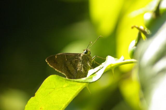 Hesperiidae : Astraptes sp. Saut Athanase (Guyane). 21 novembre 2011. Photo : J.-M. Gayman