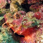 Scorpionfish (Pemuteran, North Bali)