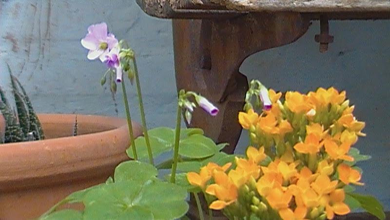 Calanchoe e flor do trevo