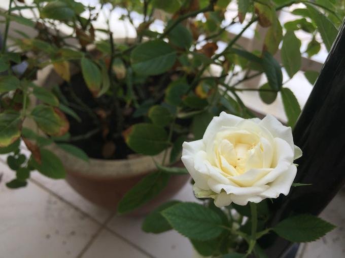 Akhirnya pokok bunga Ros berbunga setelah sekian lama merajuk