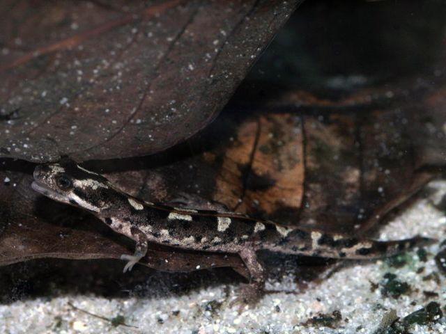 Тритон щукоголовый (Тритон горный сардинский) (Euproctus platycephalus)
