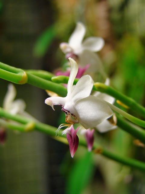 Phalaenopsis parishii DSC01206