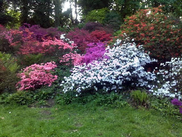 Цветущие азалии