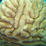 Maze Coral. Groovy? St Thomas Snorkeling.