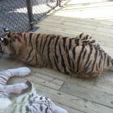 TIGERS Preservation Station - Myrtle Beach - 040510 - 10