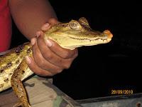 Muyuna Lodge - Caimen (Amazon alligator)