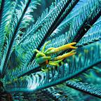 Squat lobster (Cabilao)
