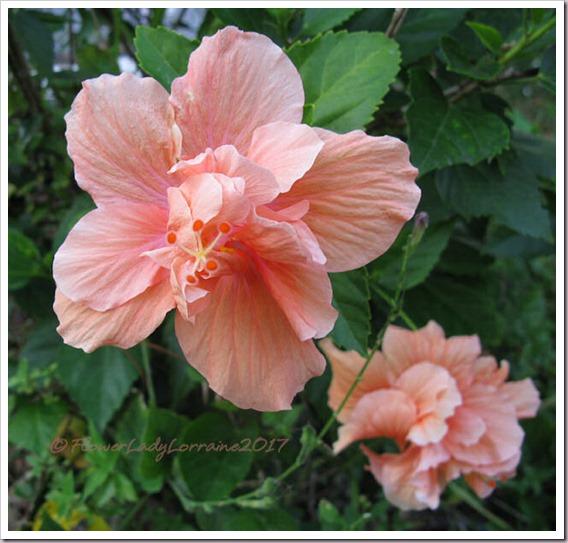 12-27-hibiscus2