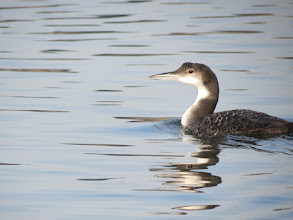 Photo: Common loon near Broughton beach