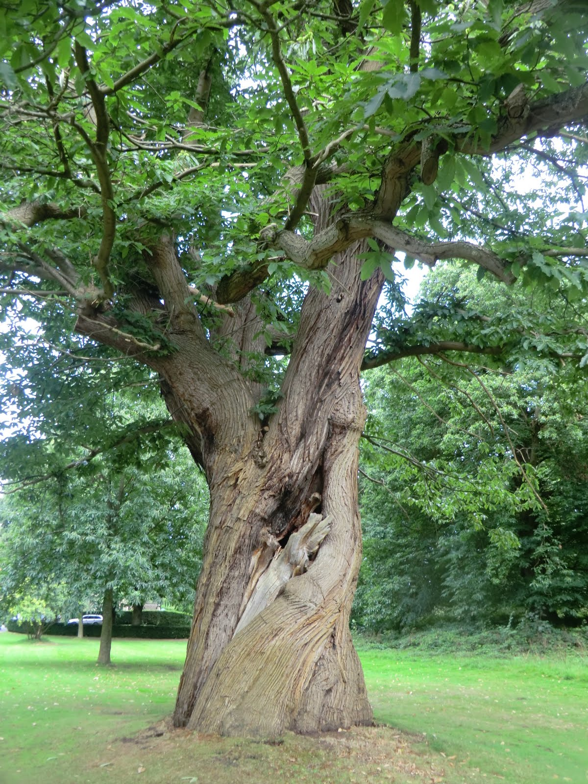 CIMG4206 Ancient sweet chestnut, Leeds Castle