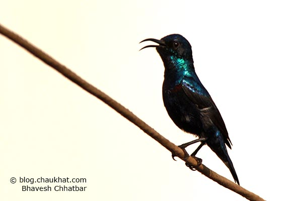 Whistling male Purple Sunbird [Cinnyris asiaticus]