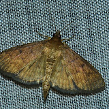 Crambidae : Pyraustinae : Ectadiosoma straminea T. P. LUCAS, 1892. Umina Beach (N. S. W., Australie), 28 décembre 2011. Photo : Barbara Kedzierski