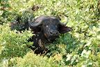 En flok bøfler har gemt sig i bushen.