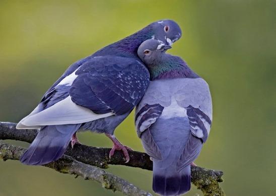 palomas emparejadas