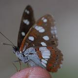 Limenitis reducta Staudinger, 1901. Les Hautes-Courennes (440 m), Saint-Martin-de-Castillon (Vaucluse), 22 juin 2015. Photo : J.-M. Gayman