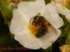 ciste et abeille 2.jpg