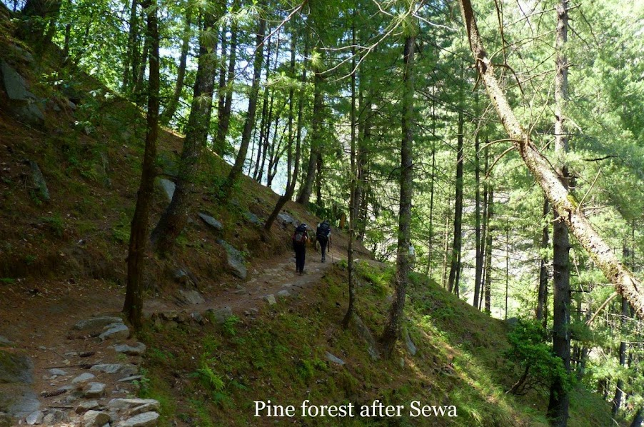 Pine forest after Sewa