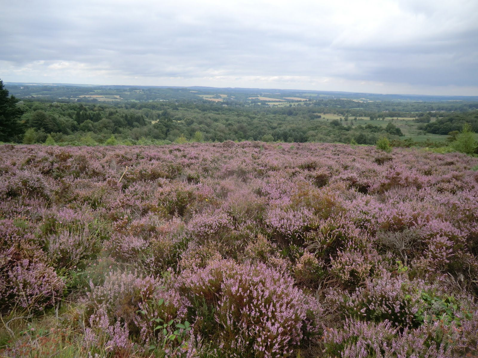 CIMG5930 Heather on Ashdown Forest