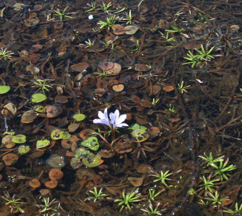 Эйхорния разнолистная (Eichhornia diversifolia)