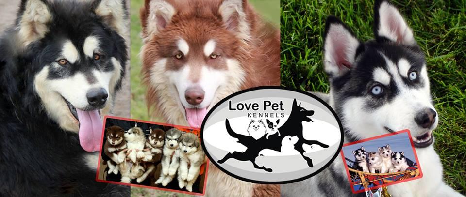 Love Pet Kennels - mua chó husky | bán chó husky tphcm hà nội giá rẻ
